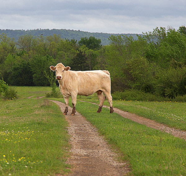 accident with cow in arkansas